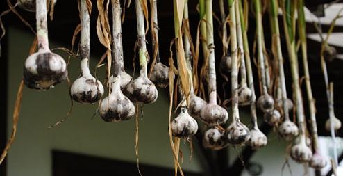 garlic0703-2